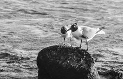 Les oiseaux dans l'amour dans le bébé échouent, Aruba Image libre de droits