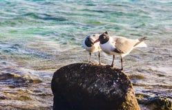 Les oiseaux dans l'amour dans le bébé échouent, Aruba Photos stock