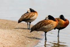 Les oiseaux dans ont nagé Image libre de droits