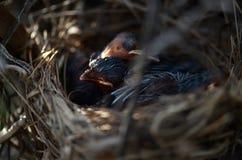 Les oiseaux de bébé rouge-barbus de bulbul dormant dans le nid images stock