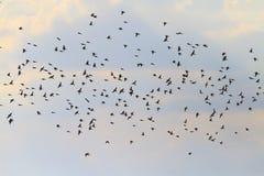Les oiseaux de chant volent au crépuscule Image stock