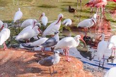 Les oiseaux de mouette et d'IBIS de blanc Photo libre de droits