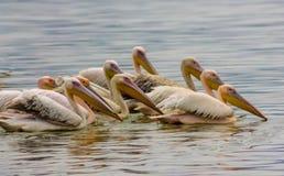 Les oiseaux de pélican dans la nature sauvage nagent sur un lac photographie stock