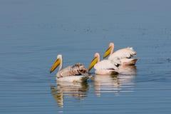 Les oiseaux de pélican dans la nature sauvage nagent sur un lac photos libres de droits