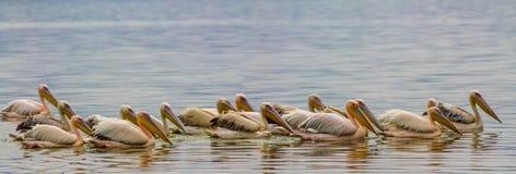Les oiseaux de pélican dans la nature sauvage nagent sur un lac images stock