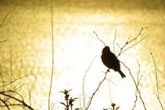 Les oiseaux et les silhouettes de buissons sur un coucher du soleil jaunissent le fond de lac Photos stock
