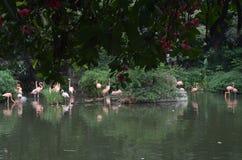 Les oiseaux flamboyants dans l'étang images libres de droits