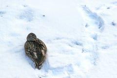 Les oiseaux gèlent en hiver Le canard a caché le bec photos stock