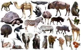 Les oiseaux, le mammifère et d'autres animaux de l'Afrique ont isolé photographie stock libre de droits