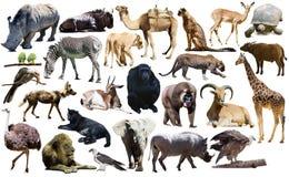 Les oiseaux, le mammifère et d'autres animaux de l'Afrique ont isolé image libre de droits