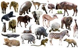 Les oiseaux, le mammifère et d'autres animaux de l'Afrique ont isolé Image stock