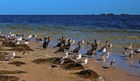 Les oiseaux marins dans Howard Park photographie stock libre de droits