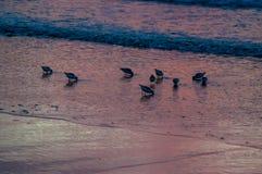 Les oiseaux marins en ressac Image stock