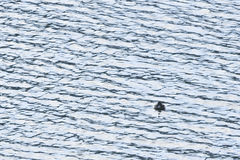 Les oiseaux marins légers Photos stock