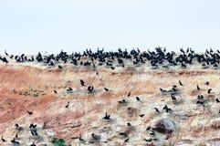 Les oiseaux marins noirs sur les falaises de grès d'isle de Madeleine Image stock