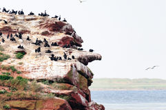 Les oiseaux marins noirs sur les falaises de grès d'isle de Madeleine Images stock