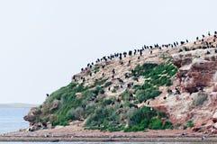 Les oiseaux marins noirs sur les falaises de grès d'isle de Madeleine Images libres de droits