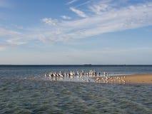 Les oiseaux marins sur l'île de pingouin, Australie occidentale image libre de droits