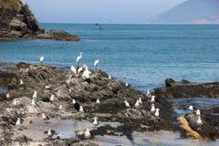 Les oiseaux marins sur la roche au bord de la mer Images libres de droits