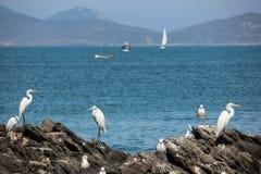 Les oiseaux marins sur la roche au bord de la mer Photos libres de droits