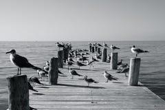 Les oiseaux marins sur une jetée ensoleillée Photos libres de droits