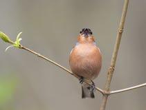 Les oiseaux masculins du pinson chante dans les bois entourés par vous Images libres de droits