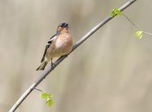 Les oiseaux masculins du pinson chante dans les bois entourés par vous Image libre de droits