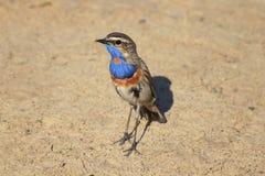 Les oiseaux masculins sont la gorge bleue image stock