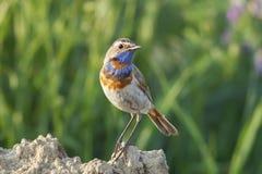 Les oiseaux masculins sont la gorge bleue photographie stock