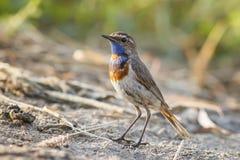 Les oiseaux masculins sont la gorge bleue photos stock
