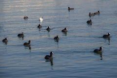Les oiseaux nagent calmement sur la surface de mer Photos libres de droits