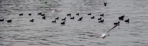 Les oiseaux nagent calmement sur la surface de mer Images stock