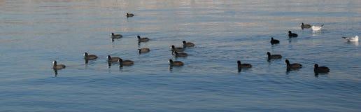 Les oiseaux nagent calmement sur la surface de mer Photo stock