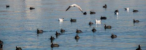 Les oiseaux nagent calmement sur la surface de mer Photos stock
