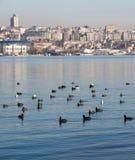 Les oiseaux nagent calmement sur la surface de mer Photographie stock