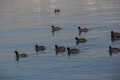 Les oiseaux nagent calmement sur la surface de mer Image stock