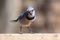 Les oiseaux Passerine de faune de nature logent Jay Eye Catch Light bleu photo libre de droits