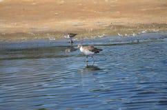 Les oiseaux pataugeants alimentent aux eaux affilent photos stock