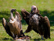Les oiseaux prédateurs luttent les uns avec les autres pour la proie kenya tanzania Photo stock