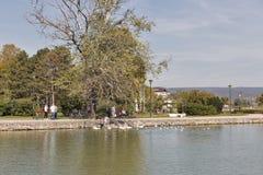 Les oiseaux sauvages d'alimentation de personnes sur le lac étayent dans Keszthely, Hongrie photos stock