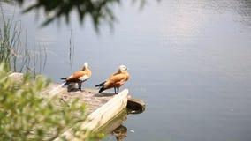 Les oiseaux se tenant toujours près de voient clips vidéos