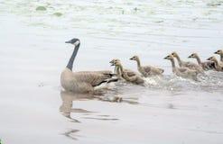 Les oiseaux suivent la maman Photographie stock libre de droits
