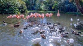 Les oiseaux sur le lac pendant l'hiver Photo libre de droits