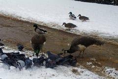 Les oiseaux voulus survivent à l'hiver Photo stock