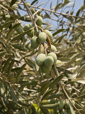 Les olives unriped. Image stock