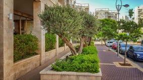 Les oliviers se développent dans des lits de fleur devant le condominium Images libres de droits