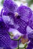Les orchidées clôturent vers le haut de/sensation doucement éthérée Photos libres de droits