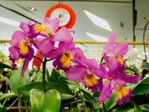 Les orchidées de gagnant dans le paradis 2014 d'orchidée de Bangkok de parangon Photographie stock libre de droits