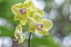 Les orchidées de Phalaenopsis fleurit en fleur ornent dedans la beauté de la nature Photographie stock