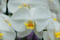 Les orchidées fleurissent pour indiquer le pollen intérieur photos stock
